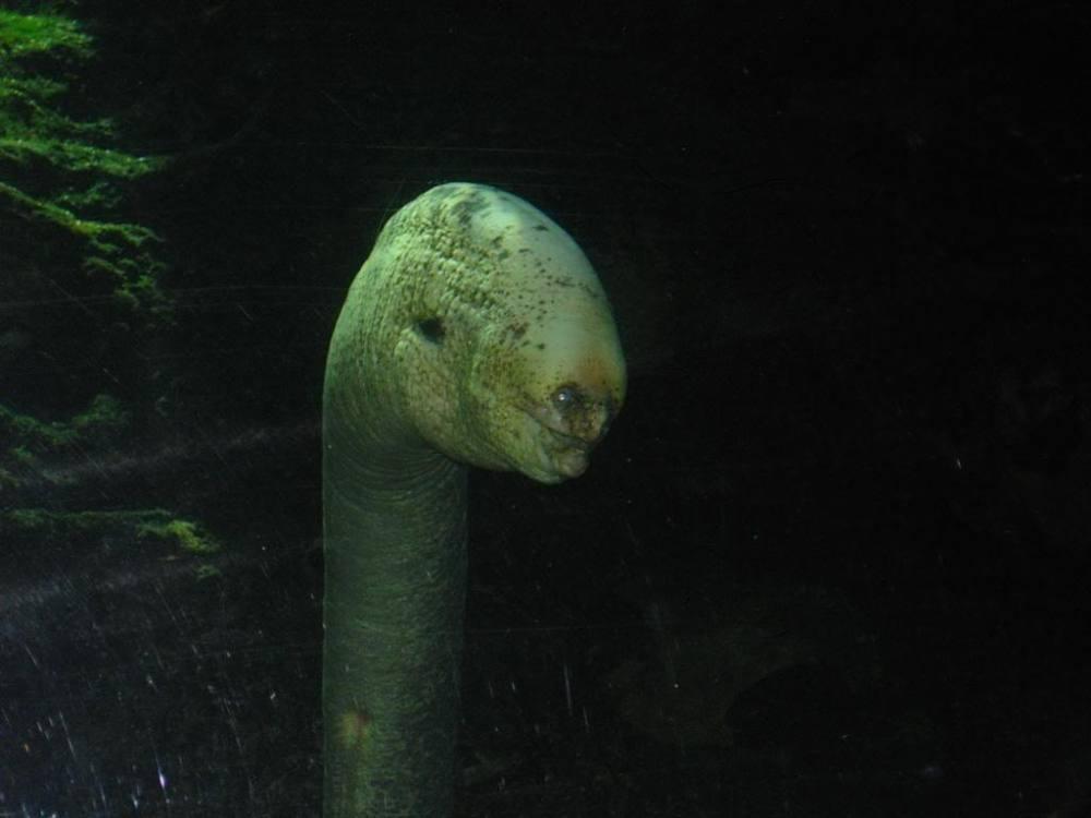 Real Life Horror: The Moray Eel (2/3)